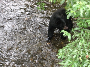 Young bear looks for lunch