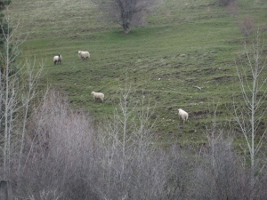 sheep in the blue mtns.